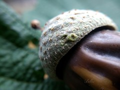 Cup and acorn......Autumn, that time of the year. Those things fall off of the trees by the dozen ...!! Love the texture and the round form of these beautiful subjects. (gilberteplessers) Tags: