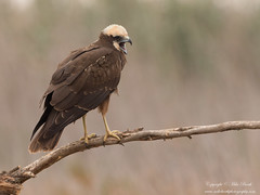 Marsh Harrier (Circus aeruginosus) (www.mikebarthphotography.com 2M Views thanks !) Tags: circusaeruginosus marshharrier