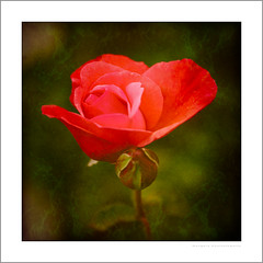Love and a red rose can't be hid (G. Postlethwaite esq.) Tags: dof macro unlimitedphotos bokeh bud depthoffield flowers garden photoborder plant red rose selectivefocus