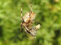 Cross Orb Weaver Spider (Araneus diadematus) (Nick Dobbs) Tags: cross orb weaver spider araneus diadematus arachnid dorset heath heathland wasp