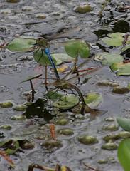 green darners laying eggs (slider5) Tags: dragonflies odonata darner egglaying paired noxubee ms