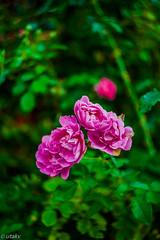 Helios 44-2 red roses (Uta_kv) Tags: flowersphotography photography legacyglass flowers canon5d sovietglass helios442
