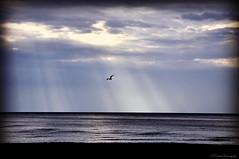 Il suffit de peu parfois pour que renaisse l'espoir (bleumarie) Tags: catalogne stationbalnéaire bleu plage nuage littoral matin matinpluvieux printemps mai mai2019 2mai2019 printemps2019 littoralméditerranéen mariebousquet mididelafrance suddelafrance bleumarie côte france méditerranée mer midi nikond90 pyrénéesorientales occitanie roussillon canet canetplage canetenroussillon sud oiseau oiseaudemer mouette goéland horizon frontdemer sable volatile aile vague minimale minimaliste minimalisme simple simplicité fabuleuse