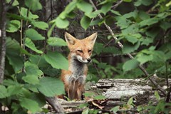 I know you see me. (~ Lauren ~) Tags: fox nature forest ontario canada wild