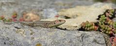 Common Wall Lizard (Podarcis Muralis) (Nick Dobbs) Tags: common wall lizard podarcis muralis reptile dorset juvenile naturalised