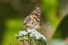 Painted Lady (Vanessa cardui)) (JRWhitaker1) Tags: butterfly garden insect backyard maryland paintedlady montgomerycounty vanessacardui