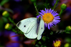 Cabbage white sits on asters blossom (scorpion (13)) Tags: butterfly autumn asters flower insect plant garden nature fall colors photoart wildlife blossoms