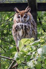 Hibou (Izzz38) Tags: romain izylowski animaux zoo parc zoologique sauvage hiboux grand duc oiseau prédateurs carnivore