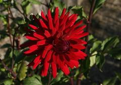 Dahlia 'Doris Day' (Wolfgang Bazer) Tags: cactus dahlia kaktusdahlie doris day botanical garden university vienna botanischer garten der universität wien dahlie blüte blume flower blossom österreich austria