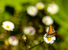 Small Copper on Fleabane (ianbartlett) Tags: outdoor 365 wildlife nature flowers seeds grasses dragonflies pondskater butterflies leaves reflections fish shadows
