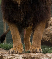 Lion (Izzz38) Tags: romain izylowski animaux zoo parc zoologique sauvage félin fauve lion patte crinière griffes prédateurs carnivore