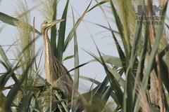 garcilla cangrejera (ji.medinacrespo) Tags: ave bird naturaleza fauna wildlife el hondo alicante españa birding birdwatching ardeola ralloides