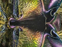 02_Protaetia_Tel-Aviv_191B_Konica5400_7mm_2.4zu1_4led (bernardo7777) Tags: jörg joerg bernhard klemmer makro microfotografie konica minolta beetle tel aviv israel stacking stack stackshot