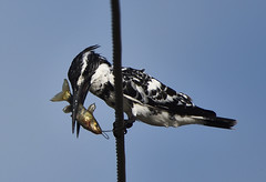 Pied kingfisher (praveen.ap) Tags: kingfisher piedkingfisher kaliveli