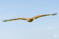 (rick_wolfgang) Tags: adlerbussard kreuzenstein vogel