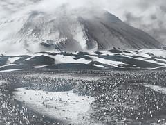 Pingu y su familia. (elojeador) Tags: pinguino monte nieve mar paisaje nube hábitat ave sebastiaosalgado foto fotografía exposición polosur byn antártida yadvenedizos elojeador