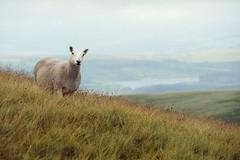 Hello (Bas Tempelman) Tags: fforest fawr geopark llyn y fan fach brecon beacons national park sheep grass hills kodakportra160 wales united kingdom nikon f801s picws du