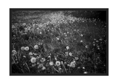 Field of Lion's Teeth (Pics from the Bird Cage) Tags: nikon nikonf2 nikonf2photomic edmonton edmontonalberta ilford ilfordpanf ilfordpanf50 film filmcamera filmisnotdead classiccamera 35mm 35mmfilm 35mmphotography tokinael tokinael28mm bw blackandwhite blackwhite argentique analog analogue rodinol dientedeleón dandelion dandelions flower flowers