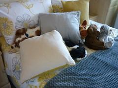 Spaniel Hideyhole (Pete 1957) Tags: coathfamily saffronwalden essex dog dogs pet pets cavalier spaniel ckcs