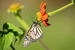 Monarch (Hockey.Lover) Tags: lakemerritt monarchbutterfly butterfly butterflies notabird lakesidepark