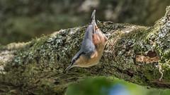 Nuthatch ( Sitta europaea ) (Dale Ayres) Tags: nuthatch sitta europaea bird nature wildlife tree handheld