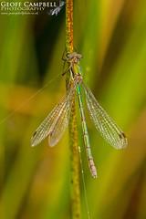 Common Spreadwing/Emerald Damselfly (Lestes sponsa) (gcampbellphoto) Tags: common spreadwing emerald damselfly lestes sponsa odonata insect macro nature gcampbellphoto