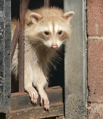 Jail Break (Hockey.Lover) Tags: lakemerritt raccoon lakesidepark notabird blonderaccoon colormorph