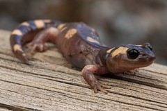 Yellow-blotched ensatina (Ensatina eschscholtzii croceater) (Spencer Dybdahl Riffle) Tags: yellowblotched ensatina eschscholtzii croceater animal wildlife nature california amphibian salamander plethodontidae herp herping californiaherps californiaherpscom amphibiaweb