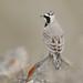 Horned Lark (Eremophila alpestris)
