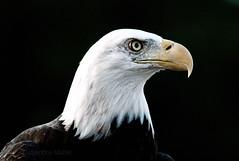 American Bald Eagle (Sandra Mahle) Tags: bird birds birdsofprey nature wildlife americansymbol americanbaldeagle baldeagle eagle raptor canon canonphotography art ngysa