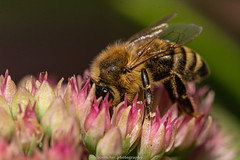 September Bee 2019 041 (boettcher.photography) Tags: sashahasha nature natur makro makrofotografie macro september herbst autumn fall boettcherphotography boettcherphotos tier animal insect insekt blume flower blossom blüte biene bee