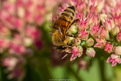 September Bee 2019 037 (boettcher.photography) Tags: sashahasha nature natur makro makrofotografie macro september herbst autumn fall boettcherphotography boettcherphotos tier animal insect insekt blume flower blossom blüte biene bee