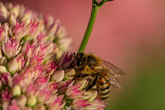September Bee 2019 033 (boettcher.photography) Tags: sashahasha nature natur makro makrofotografie macro september herbst autumn fall boettcherphotography boettcherphotos tier animal insect insekt blume flower blossom blüte biene bee