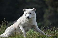 Artic wolf (travellermike6286) Tags: wolf