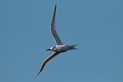 sandwich tern (DODO 1959) Tags: wildlife sandwichtern avian birds fauna flight animal outdoor nature wales carmarthenshire pembreyharbour canon 100400mmmk2 7dmk2