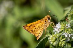 fiery skipper butterfly (robertskirk1) Tags: nature outdoor wildlife insect butterfly mclean virginia va kent gardens park fiery skipper