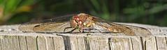 Common Darter (Sympetrum striolatum) (Eyeing moths, mostly) Tags: odonata darter d7500