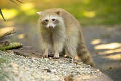 Blondie in the shade (Hockey.Lover) Tags: lakesidepark lakemerritt notabird raccoon blonderaccoon colormorph