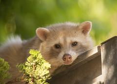 Blondie (Hockey.Lover) Tags: lakesidepark lakemerritt notabird raccoon blonderaccoon colormorph
