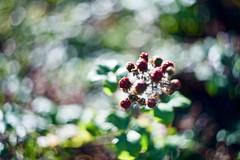 Dun Laoghaire (Mark Waldron) Tags: dublin ireland berries dunlaoghaire west pier helios44 58mm f2 vintage soviet lens m39 start sony a7iii swirly bokeh гелиос44 red closestfocus