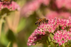September Bee 2019 032 (boettcher.photography) Tags: sashahasha nature natur makro makrofotografie macro september herbst autumn fall boettcherphotography boettcherphotos tier animal insect insekt blume flower blossom blüte biene bee