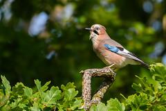 Eurasian Jay (Hishyar H.) Tags: bird nature wildlife naturephotography bamberg deutschland vogel branch nikon d500 nikonafs200500mmf56eedvr eichelhäher