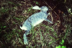 Dead rabbit (Alizarin Krimson) Tags: animal grass fur death rabbit dead