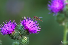 Hoverfly on a thistle (Picturavis) Tags: insekt germany picturavis animal tier deutschland hallesaale insect distel thistle hainschwebfliege episyrphusbalteatus marmaladehoverfly