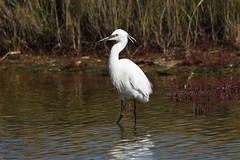 Little Egret (David Verrall) Tags: littleegret widewaterlagoon