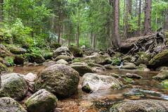 mountain stream (MichalKondrat) Tags: natura krzaki sierpień karkonosze głazy góry szklarskaporęba drzewa polska strumień przyroda wyjazd rzeka las wypoczynek sudety zieleń dolnośląskie 2019 woda kamienie