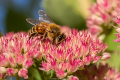 September Bee 2019 040 (boettcher.photography) Tags: sashahasha nature natur makro makrofotografie macro september herbst autumn fall boettcherphotography boettcherphotos tier animal insect insekt blume flower blossom blüte biene bee