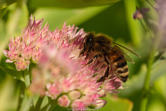 September Bee 2019 038 (boettcher.photography) Tags: sashahasha nature natur makro makrofotografie macro september herbst autumn fall boettcherphotography boettcherphotos tier animal insect insekt blume flower blossom blüte biene bee