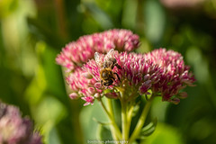 September Bee 2019 023 (boettcher.photography) Tags: sashahasha nature natur makro makrofotografie macro september herbst autumn fall boettcherphotography boettcherphotos tier animal insect insekt blume flower blossom blüte biene bee