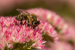 September Bee 2019 020 (boettcher.photography) Tags: sashahasha nature natur makro makrofotografie macro september herbst autumn fall boettcherphotography boettcherphotos tier animal insect insekt blume flower blossom blüte biene bee